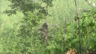 Bẫy chim cu gáy mồi cây cực hay