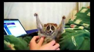 Slow loris loves getting tickled