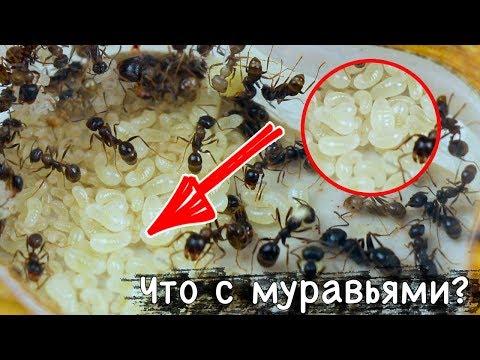 Что с моими муравьями? Прошел год! Появились гиганты!