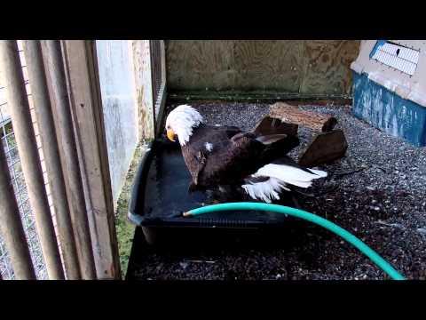 "Bald Eagle ""Woody"" takes a bath"
