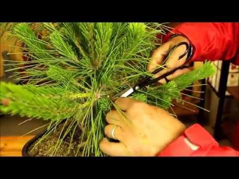 Trabajos de formación: Prebonsái Pinus thunbergii