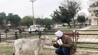 Feeding Carrots to the Cute Calf and lovely Cow