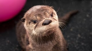 Second Chances: Tilly the river otter
