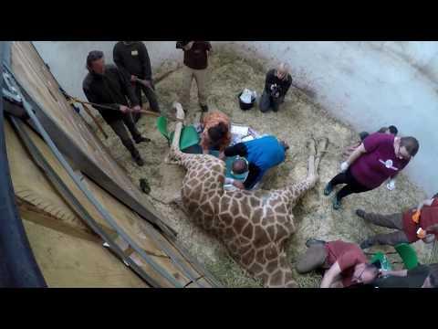 Kastrace mladých žirafích samců