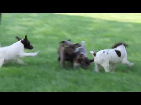 German Shorthaired Pointer Puppies For Sale Henry Stoltzfus