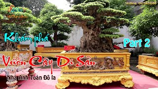 Tiên Lão Giáng Trần hoàn mỹ hơn với màu bệ mới tại Vườn Cây Di Sản Việt Nam của anh Toàn Đô La