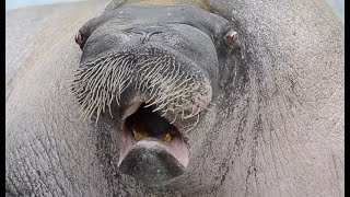 Walrus With The Most Beautiful Voice