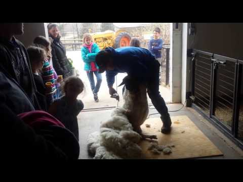 Shearing a sheep at Rolling Hills Zoo