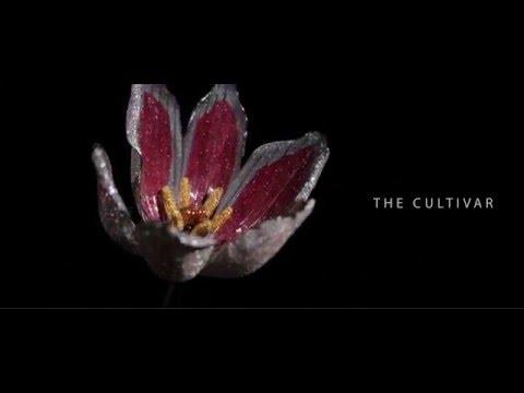 The Jeweled Garden - Tulip