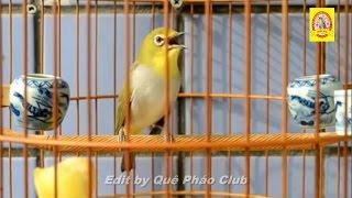 Chim vành khuyên Đại Lực Sỹ líu phê lòi (vai u thịt bắp) - Quê Pháo Club