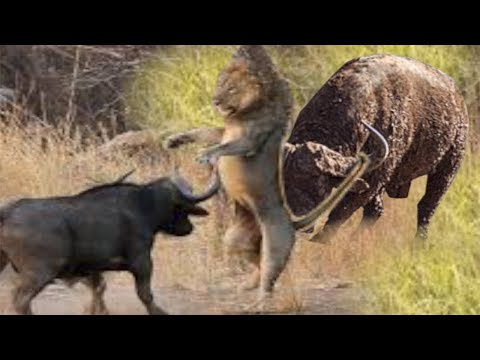 Lion  Defeated By The Strong Buffalos