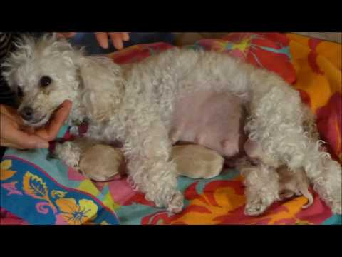 Proud Momma of 5! Really??? Toy Poodle Gives Birth to 5 Maltipoo puppies - Macy, Day 59