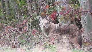 Beautiful coyote in the fall
