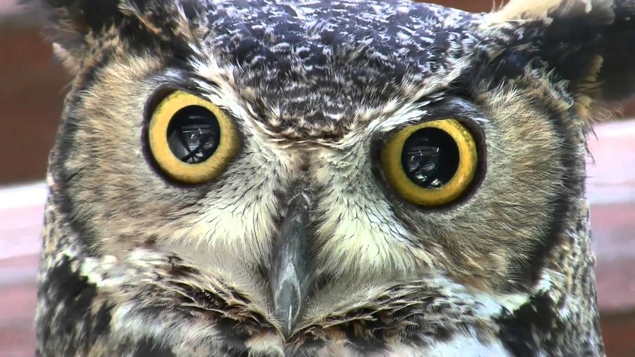 hd great horned owl - photo #30