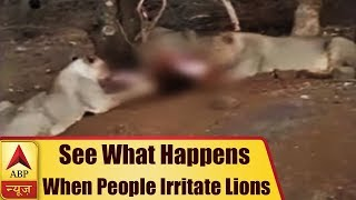Gir Forest: People heckle lions..