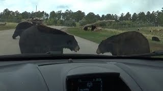 Car Surrounded By Bears!  -  Bear Country, U.S.A.