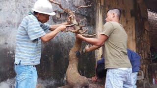 HV 331.giao lưu thành công cây mai thân đế đẹp| tạo thế mới bó bầu cho cây