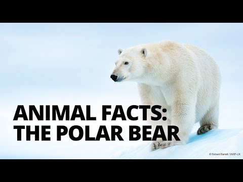 Four polar bear facts to know