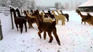 Squeaking Alpacas
