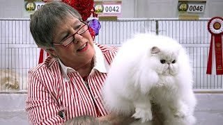 Pam Bassett's longhair kitten final at the 2015 CFA International