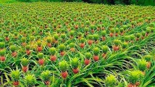 How to Harvest Pineapple ? - Pineapple Farming & Pineapple Harvesting - Pineapple Picking