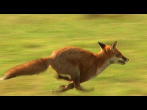 Pogonski lov na divlje svinje i lisice
