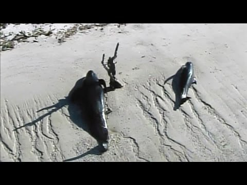 30 Whales Stranded On Beach Off Florida Coast - Smashpipe News Video