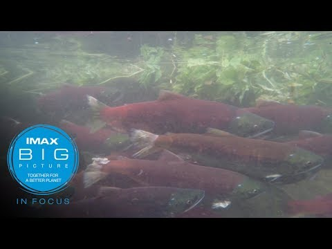 IMAX In Focus: On the Backs of Salmon Documentary (short)