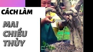 Cách mà các nghệ nhân nước ngoài uốn cành cây mai chiếu thủy ( bonsaicaycanh )