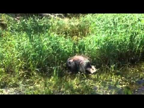 """Spike"" the porcupine plays in a wetland"