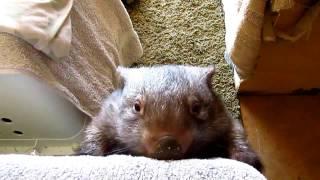 Jaxzyn our wombat village idiot at the sanctuary!