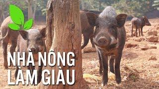 """Lộ bí quyết nuôi lợn rừng """"cắp nách"""", giá gấp đôi lợn thường"""