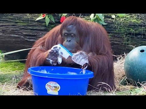 Позитива на денот - 34-годишен орангутан научил да си ги мие рацете