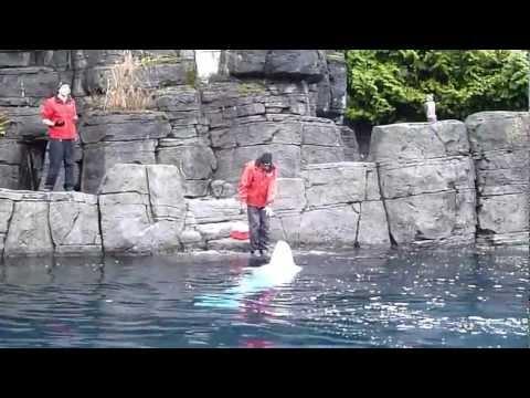Vancouver Aquarium  Beluga show 3