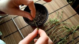 How to propagate the String of Pearls plant ( Senecio rowleyanus )