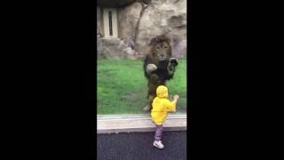 Lion attempts to POUNCE on little boy but slams into the enclosure glass [FULL VIDEO] - ORIGINAL