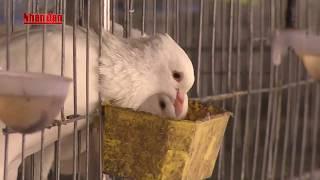 Câu Chuyện Khởi Nghiệp: Người mang chim bồ câu Pháp về vườn nhà