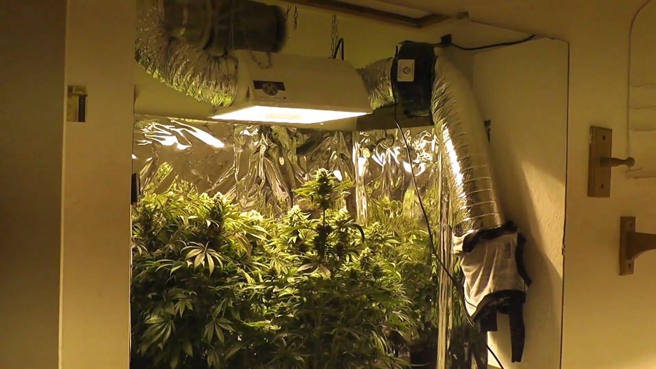 1000w Mh Hps Grow Week 8 Flowering Youtube
