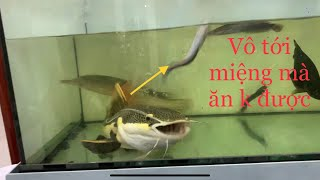 HỒNG VĨ BỊ SẤU HOẢ TIỂN CƯỚP CÁ|THE FIGHT FOR FOOD BETWEEN THE REDTAIL CATFISH AND THE ALLIGATOR GAR