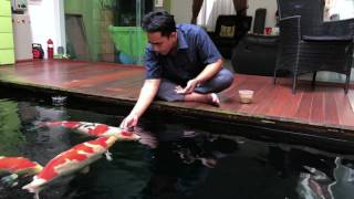Friend & Koi - Hand Feeding