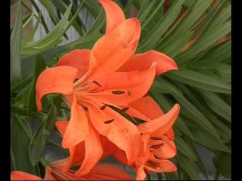 El jardinero en casa lilium xem video clip hot nh t 2017 for Jardinero en casa
