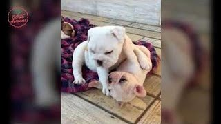 Funny And Cute French Bulldog Puppies Compilation #148 | Funny DOG compilation