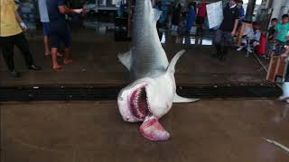 沖縄でのイタチザメ駆除