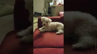 Dog hates Happy Farm music
