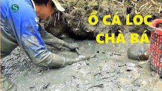 Thụt hang bắt cá trúng ngay ổ cá lóc chà bá | Fishing | Sắc Màu VN