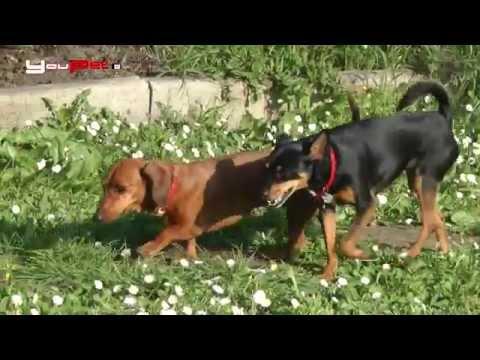 Come proteggere i cani dalla leishmaniosi