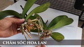 Chăm sóc lan hồ điệp - orchid care - toan trinh flower - lan ho diep