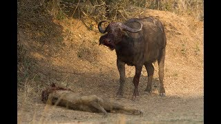 lion vs buffalo - When buffaloes get angry - expect the worst
