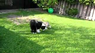 Terrier tibétain toilettage pet grooming