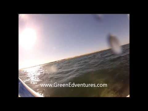 Baby Gray Whale Swims to the Camera